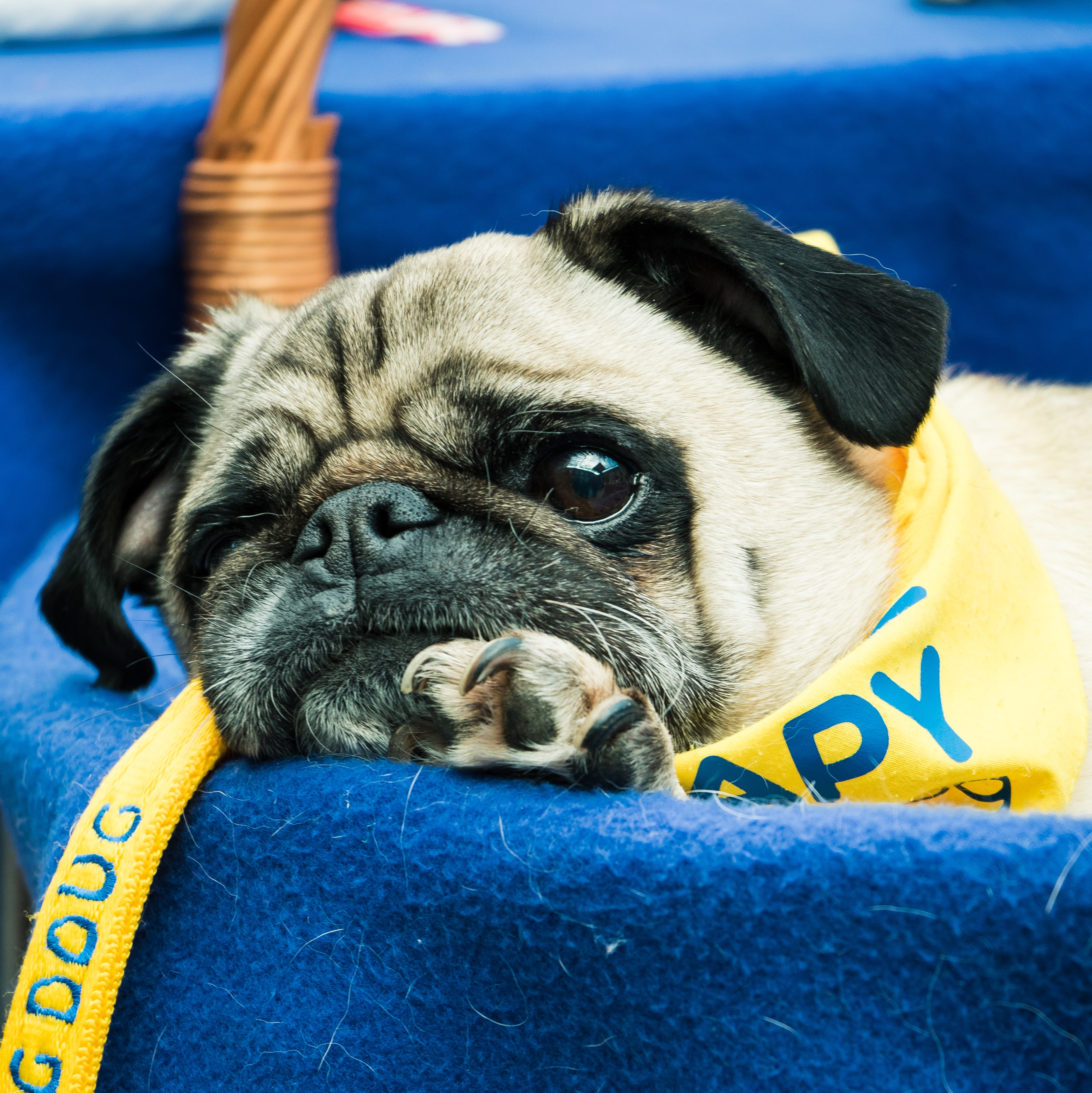 Therapy pug cropped.jpg
