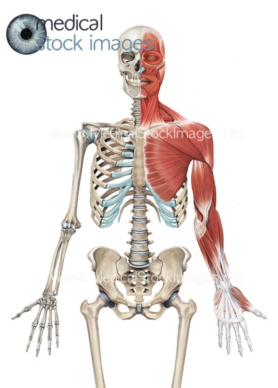 Superficial Muscle Skeleton
